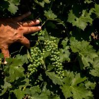 Успешна растителна защита и подхранване на лозята с продуктите на СУММИТ АГРО